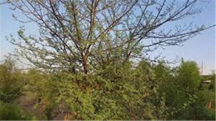 فوائد نبات القرض السوداني وخاصة للجهاز التنفسي