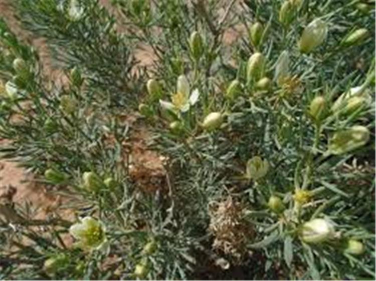 فوائد نبات الحرمل وأثاره الجانبية والجرعة المناسبة منه