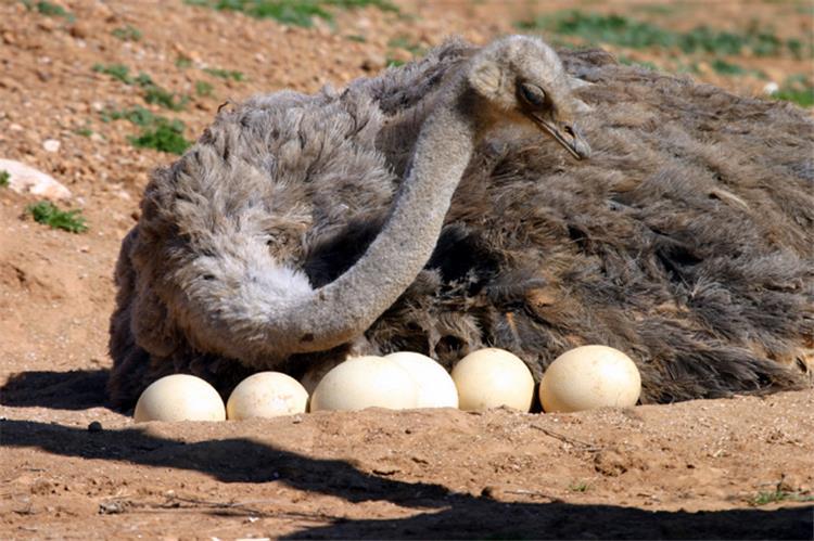فوائد بيض النعام للجنس