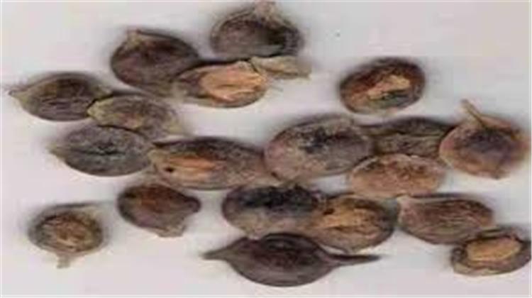 ما هو نبات القرض السوداني وفيما يستخدم