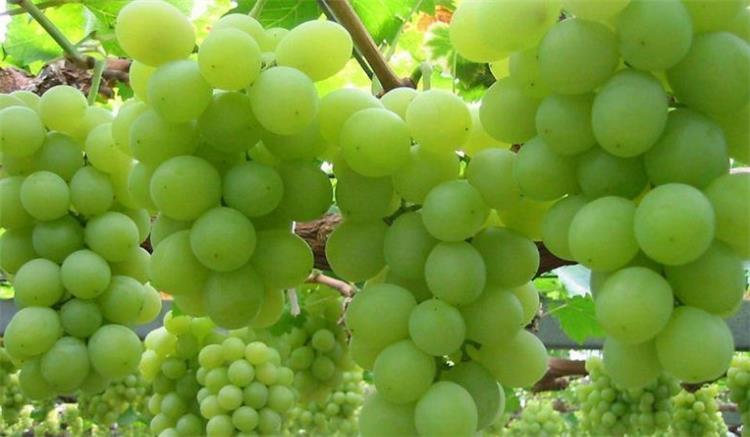 فوائد العنب الأخضر للرجيم تخسيس الوزن بشكل مثالي