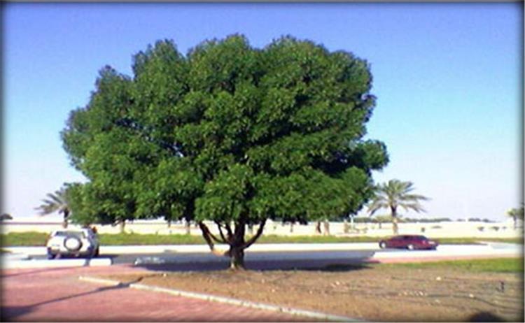 اضرار شجرة الكونوكاربس