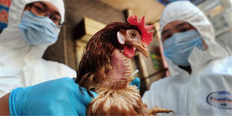 اعراض انفلونزا الطيور توخي الحذر