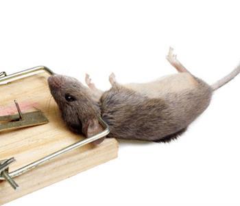 كيفية طرد الفئران نهائيًا من منزلك