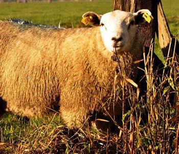 حتى لا تتعرضين للغش.. 7 نصائح عند شراء خروف العيد